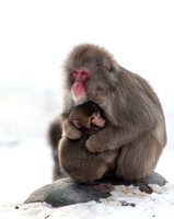 Snowy Monkey and Baby