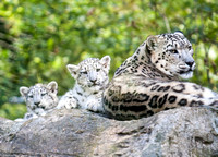 Mum and 2 Cubs