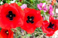 Leckford Poppies resize