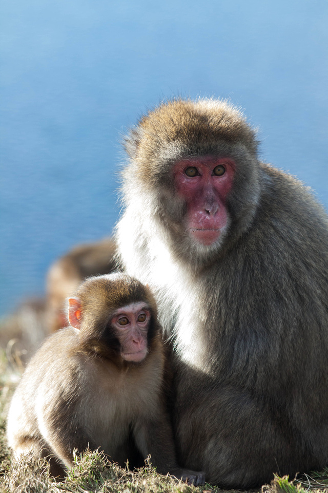 Japanese Macaque Snowy Monkeys